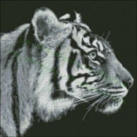 Tigre Blanco y Negro